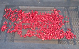 Sun Drying Currants