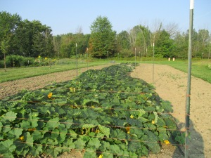 Netting the squash field against deer.